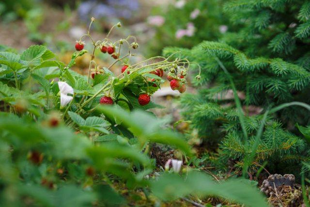 Земляника садовая в дизайне сада — и красиво, и вкусно