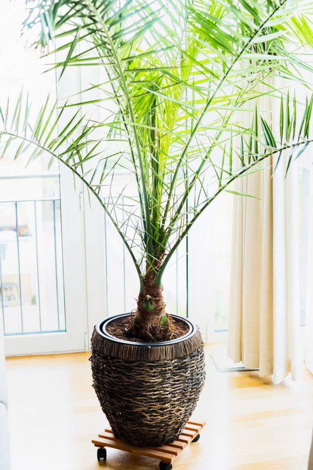 Финиковая пальма обожает свежий воздух