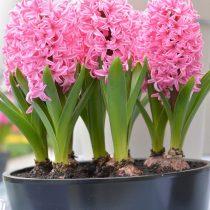 Гиацинт «Пинк Перл» (Pink Pearl)