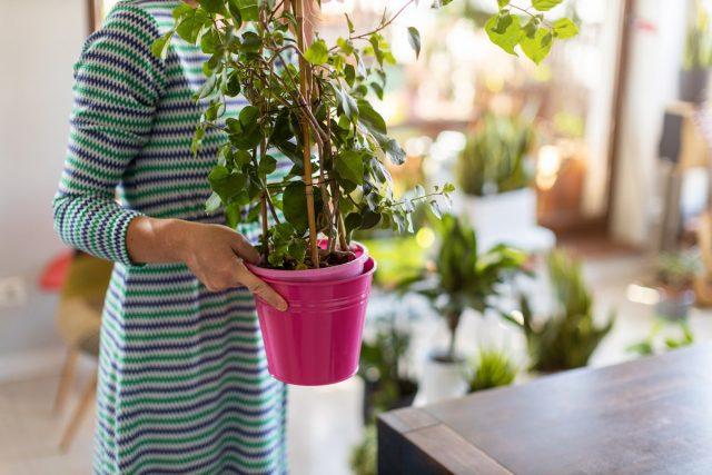 Только после того, как растение освоится в новых условиях, его переносят на постоянное место