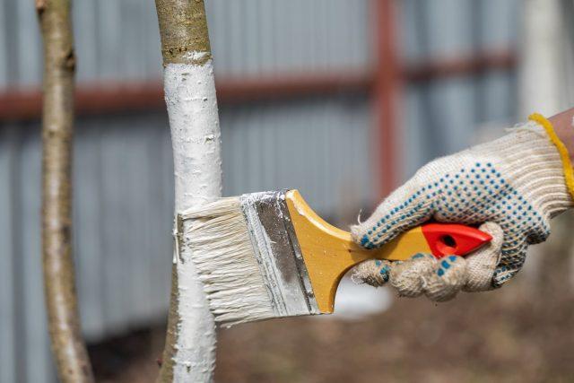 Осенняя подготовка саженцев включает очищение и обработку коры, в том числе осеннюю побелку