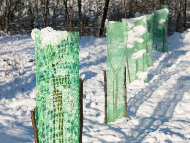 Как не потерять молодые саженцы плодовых зимой?