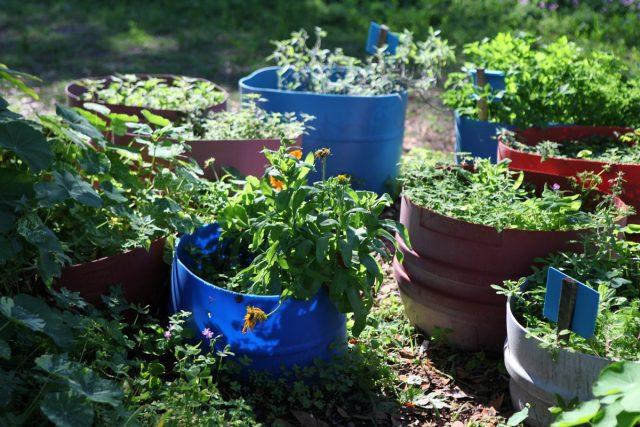 Выращивание лекарственных растений в контейнерах — хорошая альтернатива летникам и кадочным