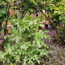 Расторопшу, как и другие высокие травы, лучше посадить у забора или на заднем плане в миксбордере