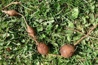 Клубни апиоса вырастают такими «цепочками»