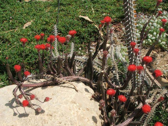 Крестовник стапелиевидный (Kleinia stapeliiformis, синоним Senecio stapeliiformis)