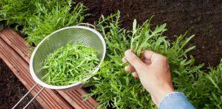 Многолетняя руккола — такая же вкусная, но более удобная в выращивании