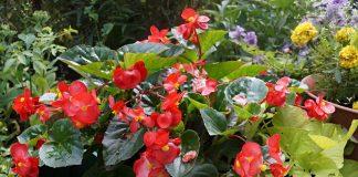 Новые гибриды бегоний — улучшенная версия классических вечноцветущих