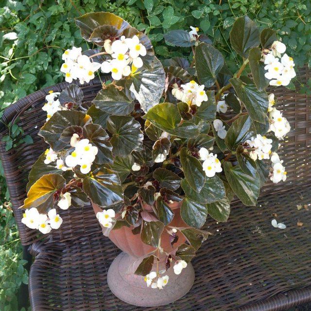 Бегония гибридная «Бэби Винг» (Baby Wing), расцветка 'White Bronze Leaf'