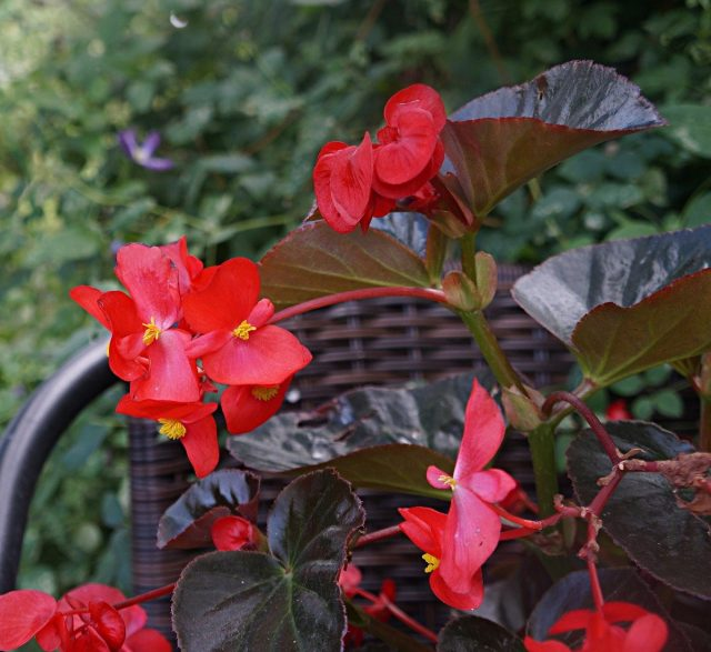 Бегония бенараская «Биг» (BIG Begonia x benariensis), расцветка 'Red Bronze Leaf'