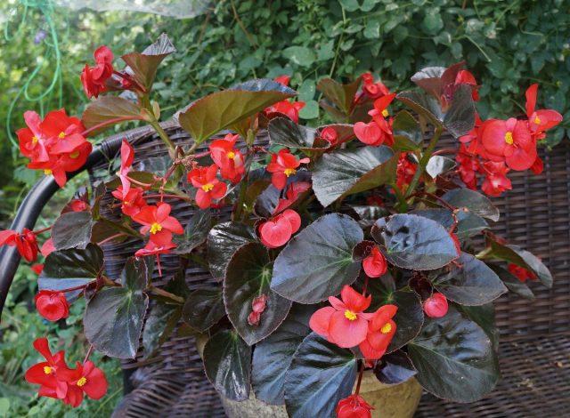 Бегония бенарская «Биг Делюкс» (Begonia x benariensis BIG DeluXXe), расцветка 'Red Bronze Leaf'