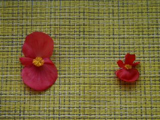 Цветок бегонии гибридной (слева) и бегонии вечноцветущей (справа)