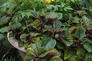Плектрантус краснеющий (Plectranthus purpuratus)