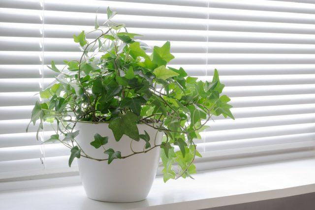 Плющи, которые страдают от недостатка освещения, быстро сбрасывают листья