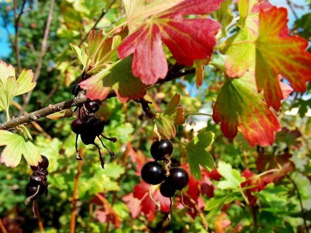 Осенью у золотистой смородины красивая окраска листвы