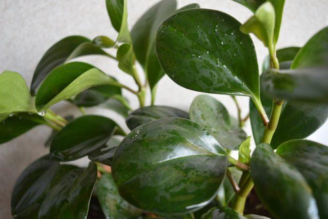 Для сортов пеперомии с гладкими листьями можно при желании проводить опрыскивания летом