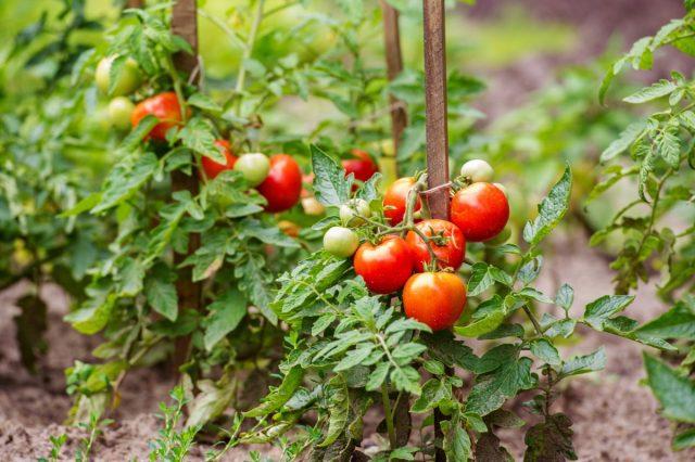 Высаживаем и лелеем томаты — советы специалиста