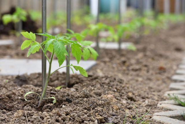 Высаженные в грунт саженцы томатов