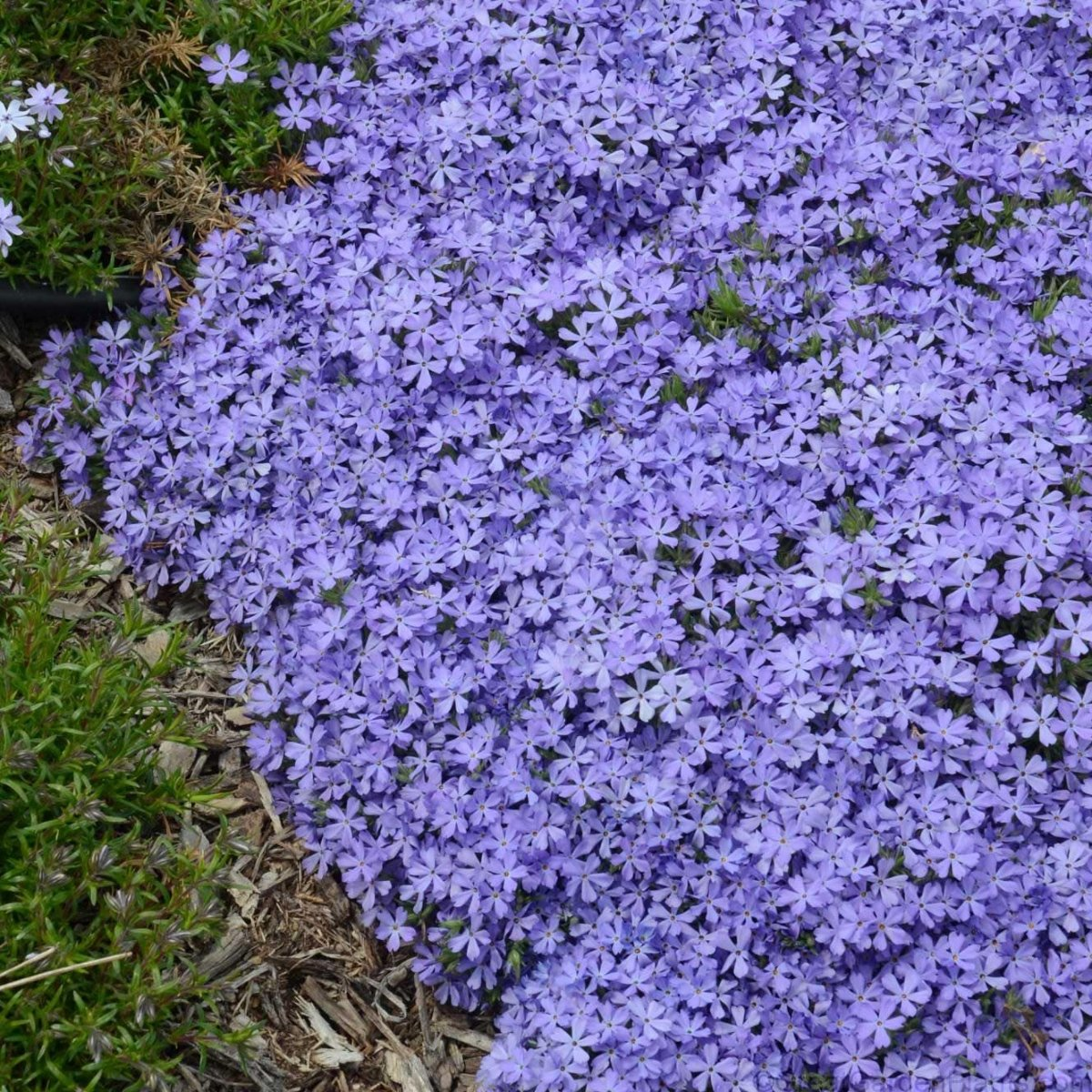 Phlox-Violet-Pinwheels-2
