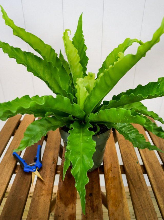 Для обновления и загущения асплениума можно выборочно вырезать самые старые и крупные листья