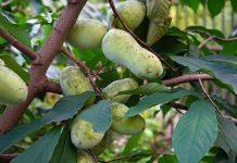 Азимина — банановое дерево, которое может расти и в вашем саду