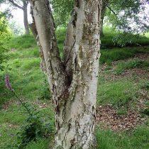 Берёза каменная, или Берёза Эрмана (Betula ermanii)