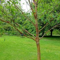Берёза белая китайская (Betula albosinensis)