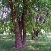 Берёза чёрная (Betula nigra)