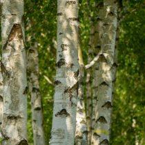 Берёза пушистая (Betula pubescens)