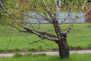 Карельская берёза (Betula pendula var. Carelica)