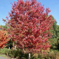 Клен красный — красивый в любое время года