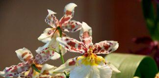Комнатная камбрия — пёстрая орхидея-звездочка