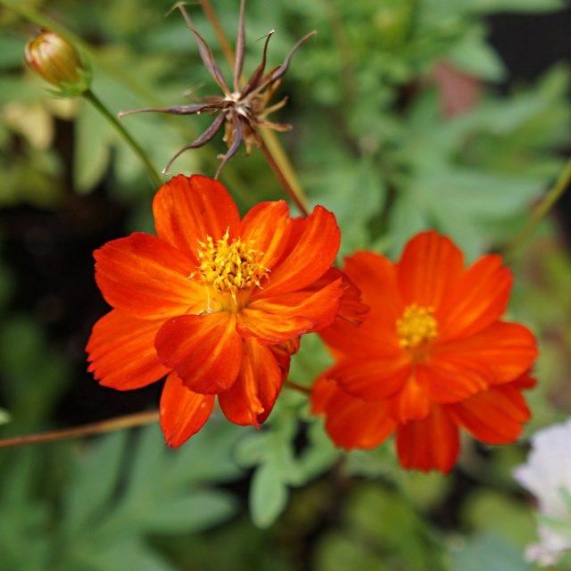 Отцетающие цветки космеи можно не удалять, но они могут дать самосев