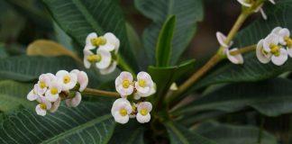Молочай гребенчатый — неприхотливый цветущий суккулент