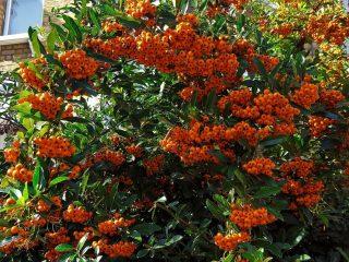 Пираканта узколистная (Pyracantha angustifolia)