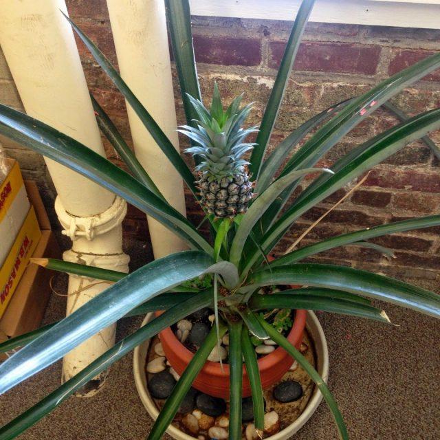 Экстремально сухой воздух возле отопительных приборов может привести к болезни ананаса