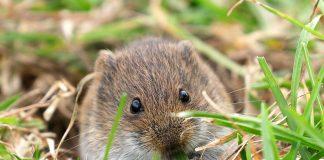 Полевки на участке — как избавиться от вредных мышей?
