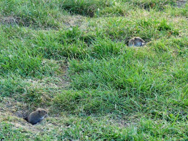 Основное место обитания полёвки — поле, луг