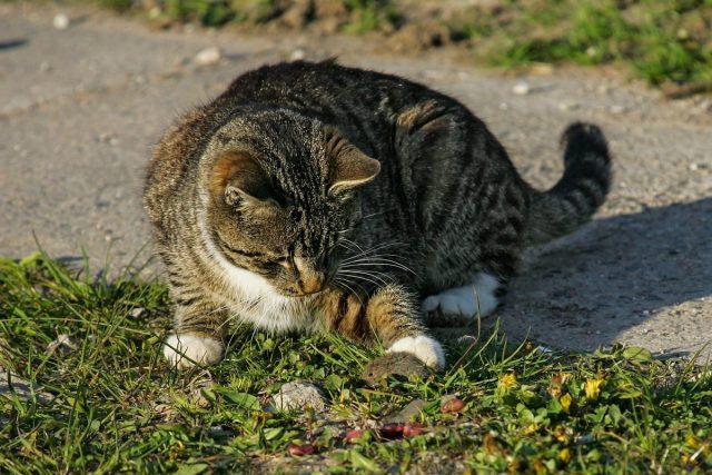 Активный молодой кот поможет отвадить полёвок