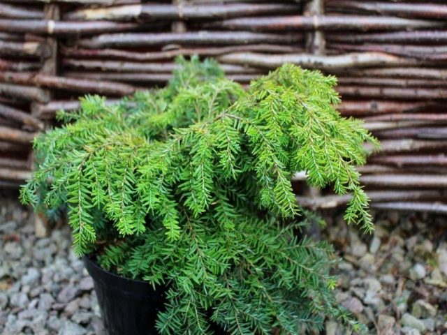 Надежнее всего покупать тсуги в местных садовых центрах и питомниках
