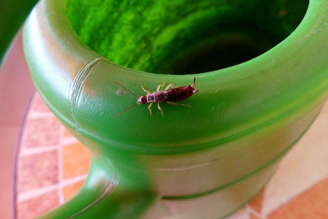 Уховертки могут атаковать молодые комнатные растения и, особенно, рассаду
