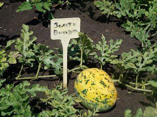 5 необычных и вкусных арбузов, которые я выращивала в прошлом сезоне