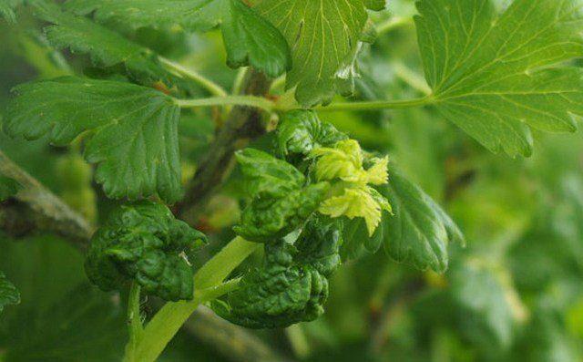 5 ягодных кустарников, на которых обязательно поселится тля