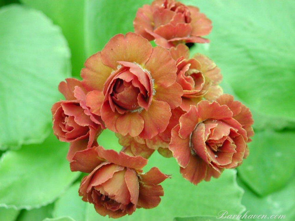 Первоцвет ушковый, или Примула ушковая «Синнамон» (Primula auricula 'Cinnamon')
