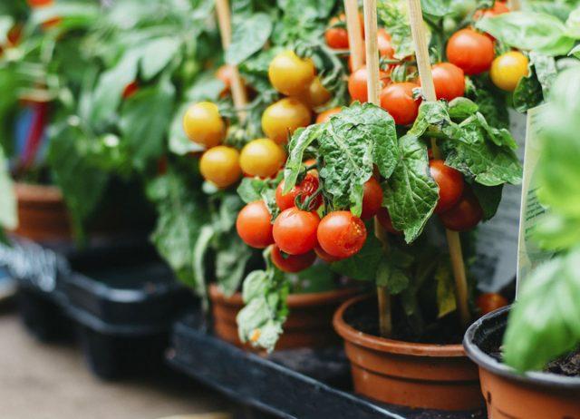 Сравнение томатов черри и биф. Что лучше?