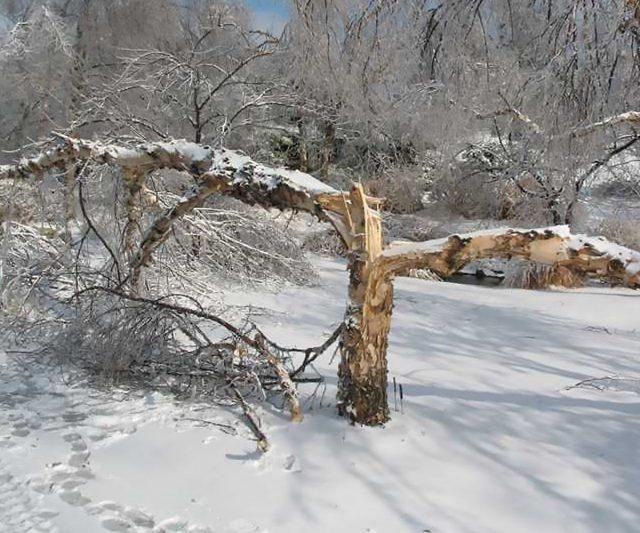 Боремся с обледенением деревьев в саду