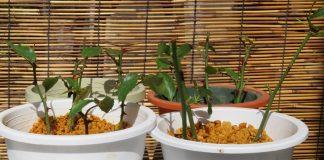Базовые правила размножения роз черенками летом и зимой