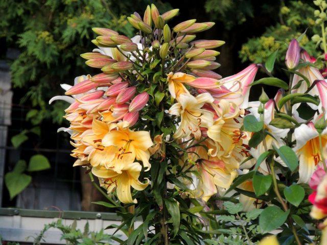Лилия с фасциацией в саду