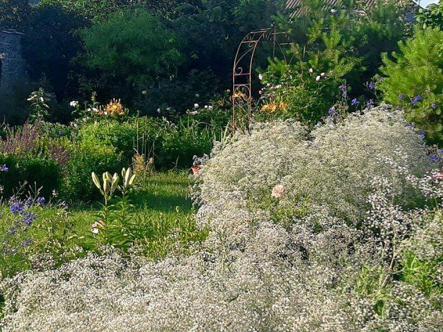 гипсофила придает саду очаровательный и нежный вид