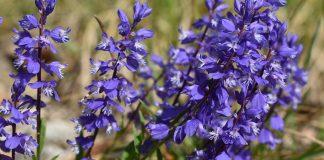 Истод обыкновенный — лекарственное растение, которое украсит ваш цветник